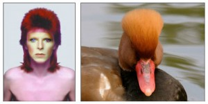 David Bowie and Red crested pochard - Justin de Villeneuve