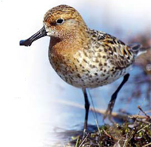 Spoon-billed sandpipers get help from Leica Camera AG