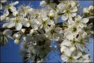 Blackthorn in bloom - Richard Bullock
