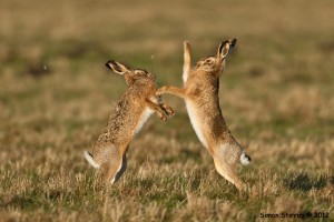 Hares boxing by Simon Stirrup