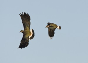 Lapwing displaying by Chris Knights