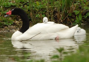 Black-necked swan and cygnets at WWT Arundel