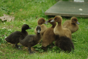 Ducklings at WWT London Wetland Centre - Laurence Arnold