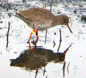 Redshank - Mike Caiden
