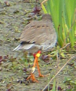 Redshank rings - Mike Caiden
