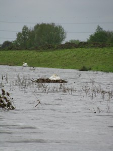 Mute swan nest in flood