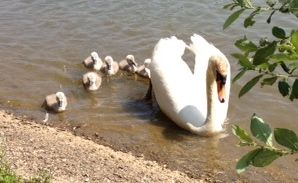 Mute swan and cygnets hatched in May