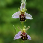 Bee orchid - Richard Bullock