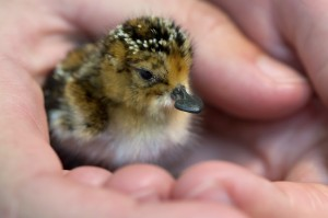 24 hour old SBS chick (WWT - Paul Marshall)