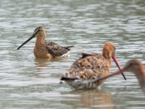 Dowitcher by James Lees