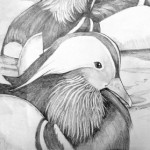 Mandarin drawing - Judith Gordon