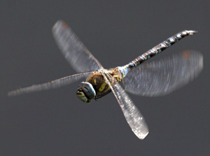 MIgrant Hawker - Anne and Chris Algar