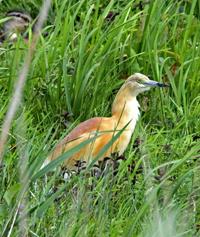 Squacco heron by Chris Baines