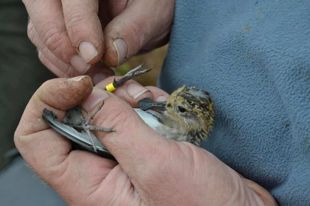 Ringing one of the spoon-billed sandpipers before releasing it into the wild (c) Anastasia Sestnova