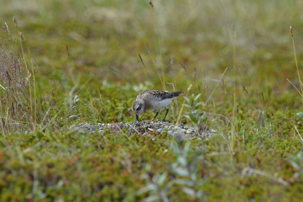 A spoon-billed sandpiper post-release (c) Anastasia Sestnova