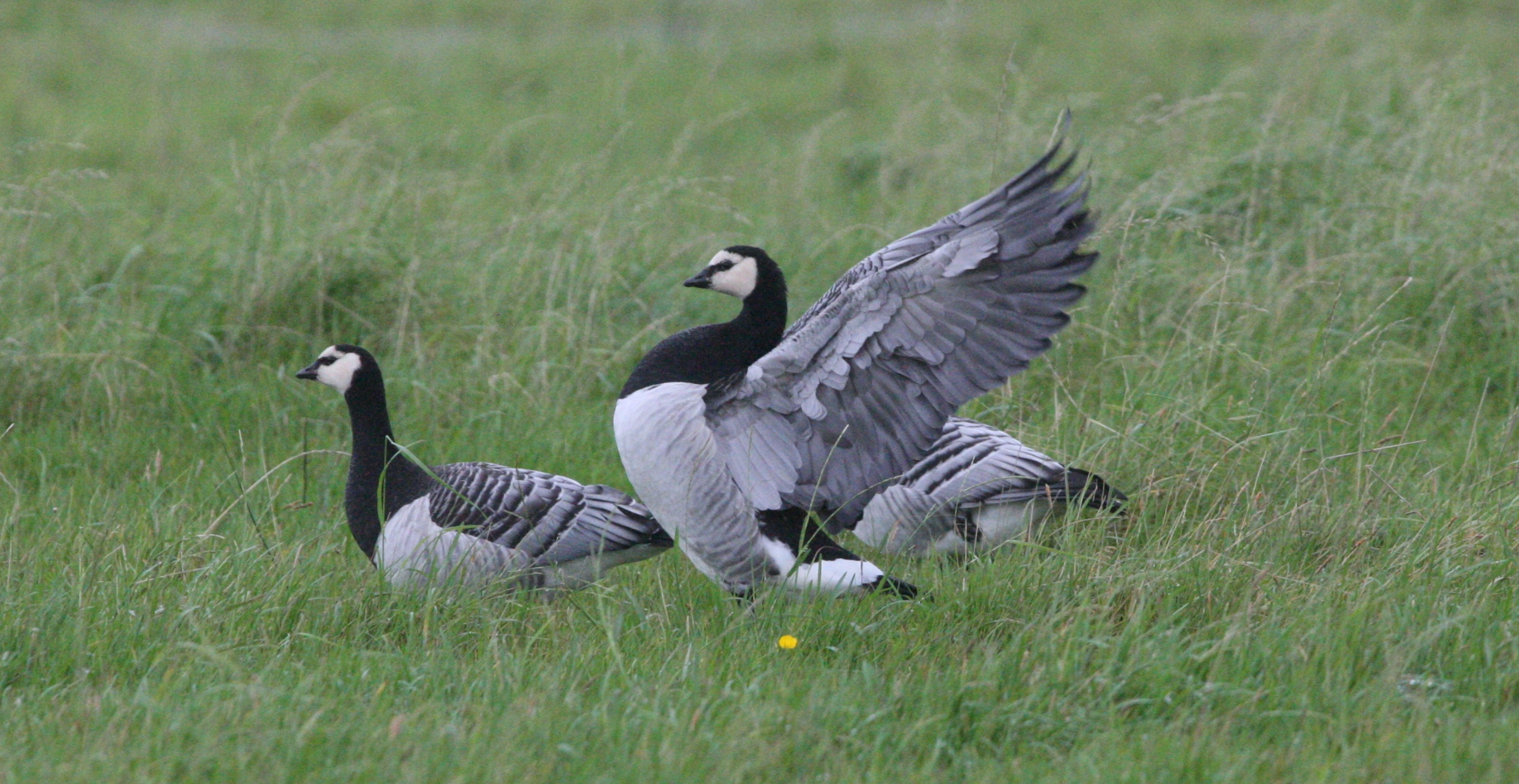 A win for barnacle geese