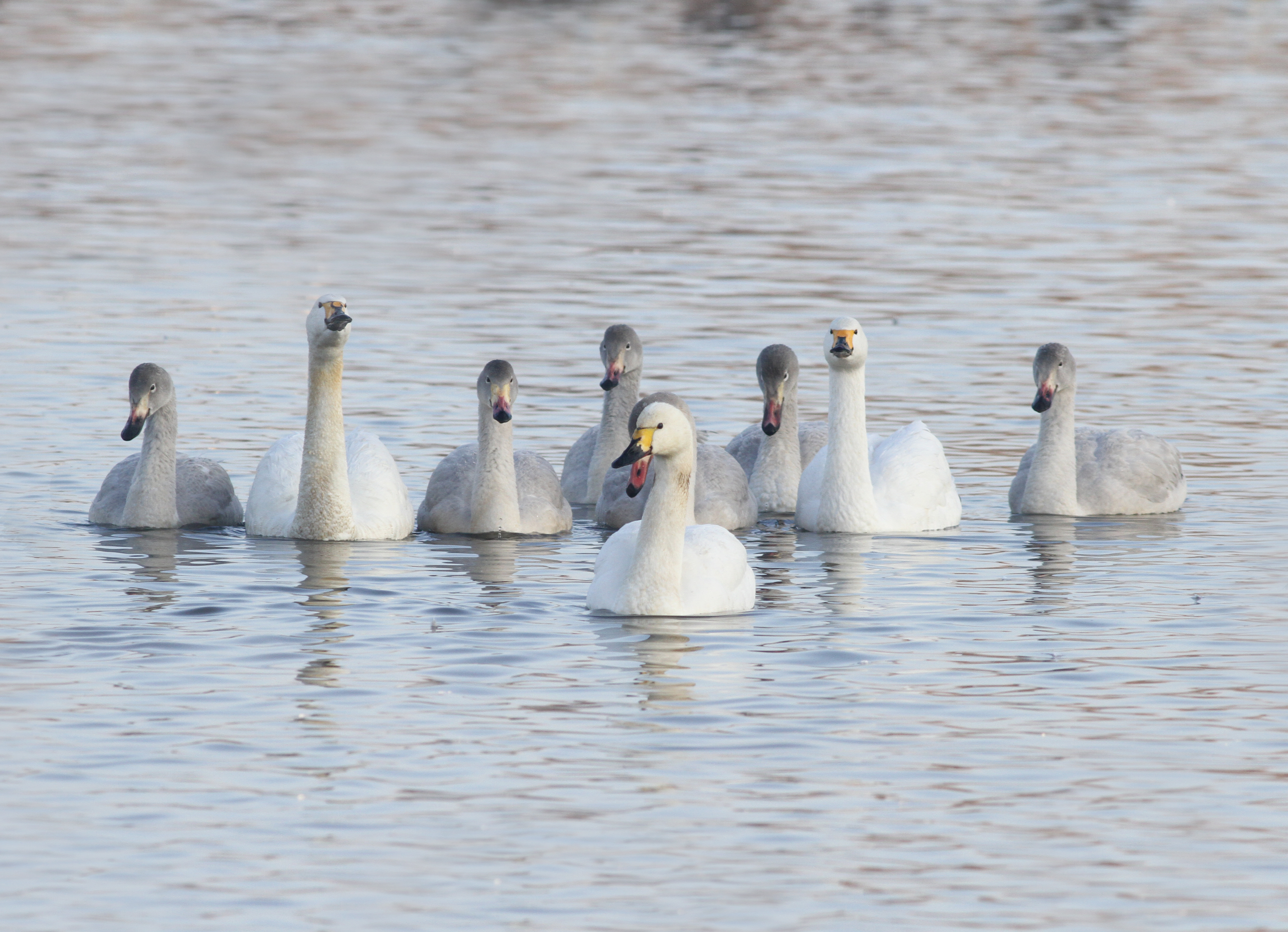 Bewick's swans, Everton and Rovers, with their six cygnets at WWT Slimbridge (c) JSLees WWT