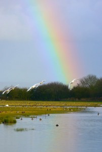 Bewick's Swans and Rainbow Tack Piece, MJMcGill