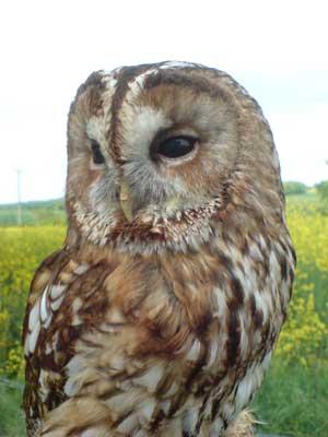 Tawny Owl - Ben Long