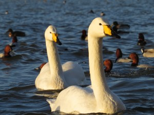 Eye level whooper swans
