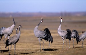 Common cranes displaying (c) Alamy