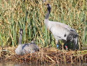 Loss of wetlands drove the crane to extinction in the UK in the 1600s