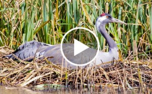 Click to watch crane webcam