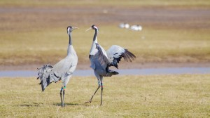 Crane courtship at WWT Slimbridge (c) WWT