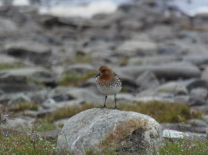 Male spoon-billed sandpiper that produced six fledglings - three that he reared himself and three that were hand-reared (c) Roland Digby