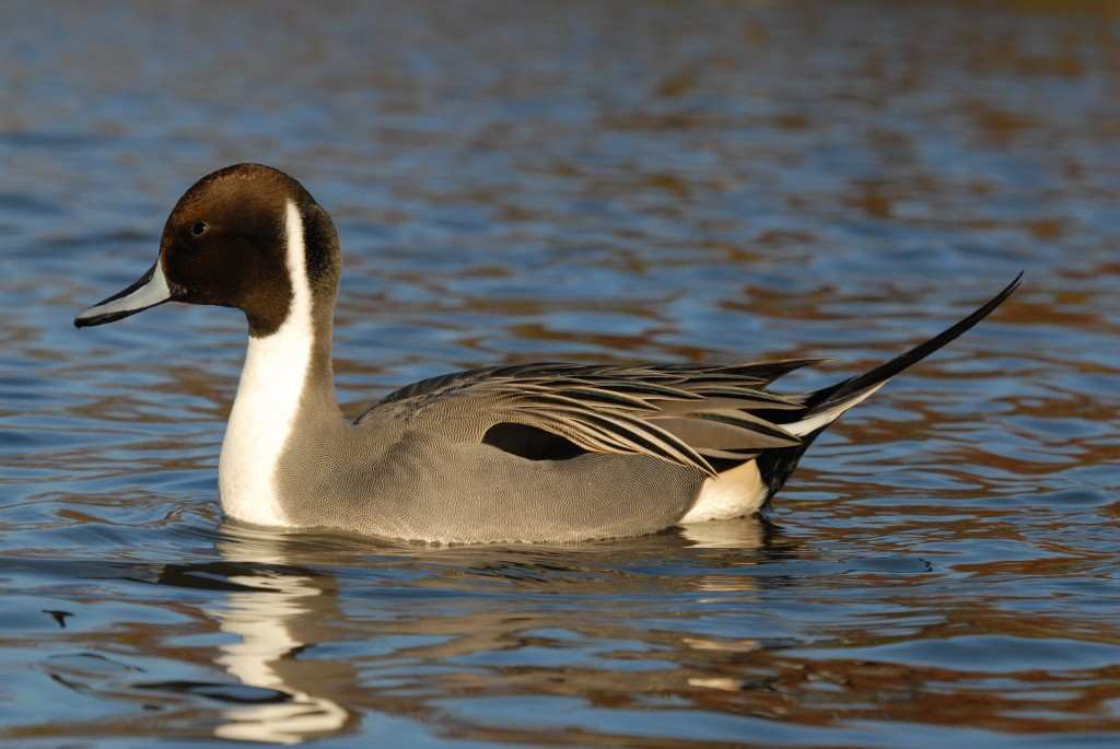A pintail at Slimbridge by James Lees