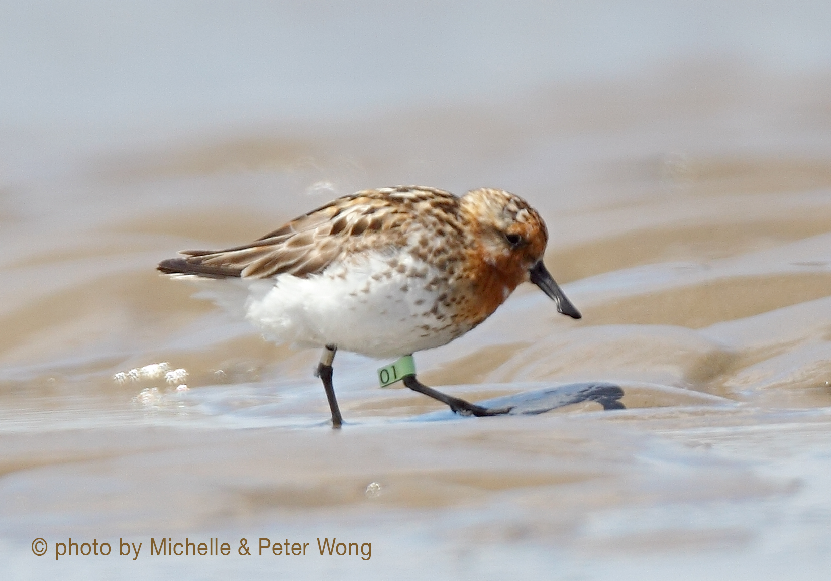 Rare sighting of marked spoon-billed sandpiper on migration
