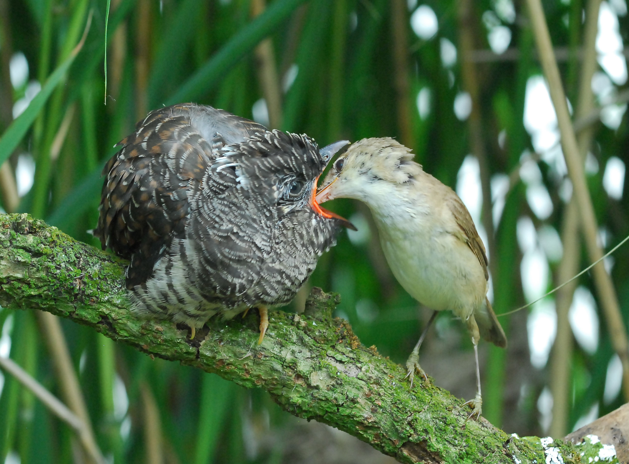 Cuckoo chick fed by adult reed warbler (c) Paul Stevens