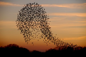 Flock of starlings flying above Slimbridge at sunset (c) James Lees