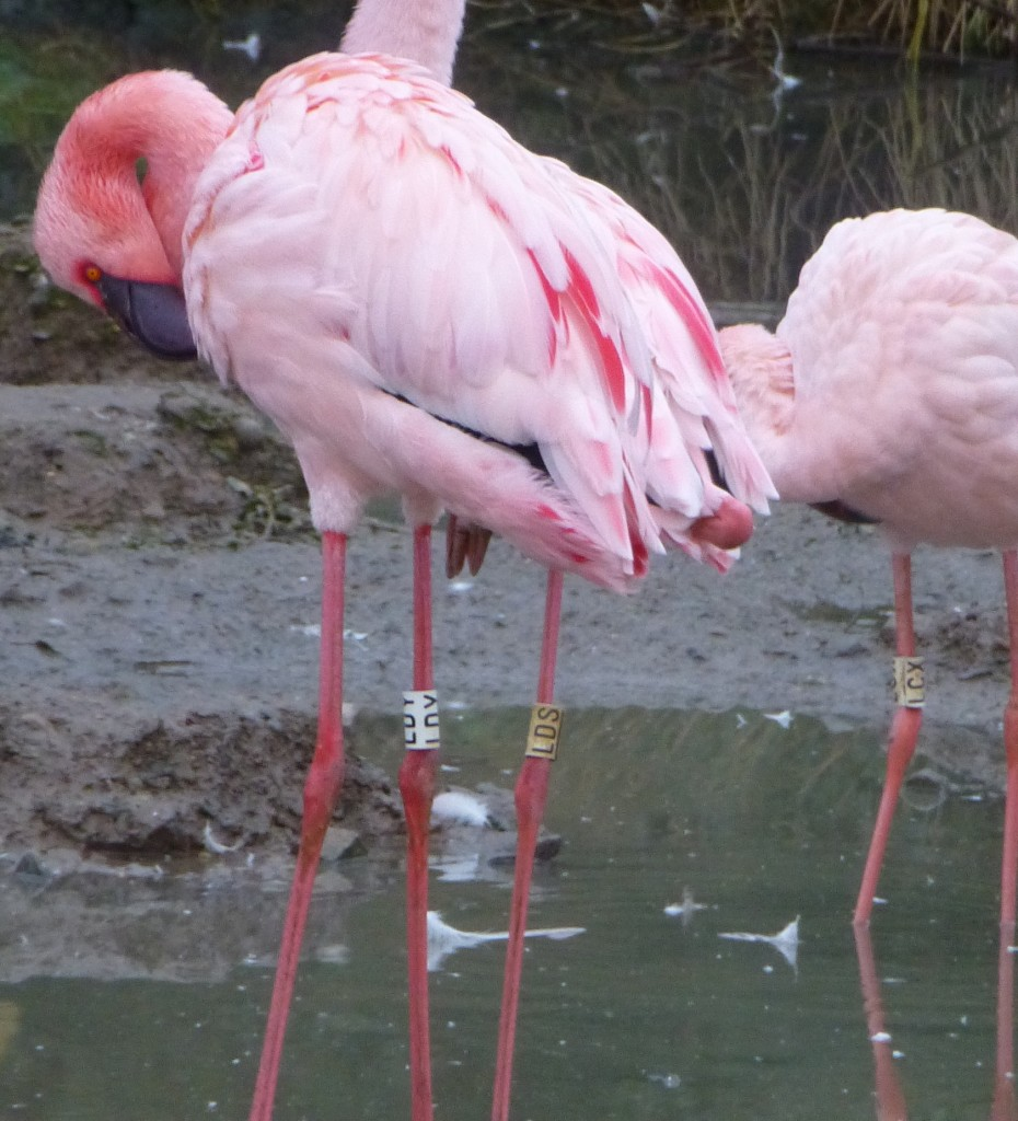 Getting in the pink... quite literally. A flush of colour against the winter backdrop in the lesser flamingo enclosure at WWT Slimbridge.
