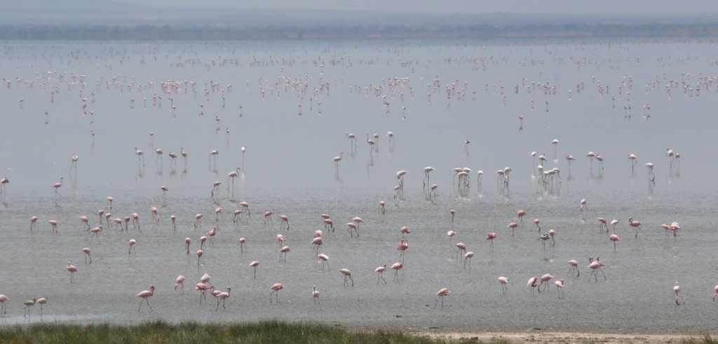 The natural habitat of lesser flamingos are the caustic soda lakes of East Africa. Birds can wade around in water so alkaline it will burn human skin. Not the most pleasant place to spend your time...