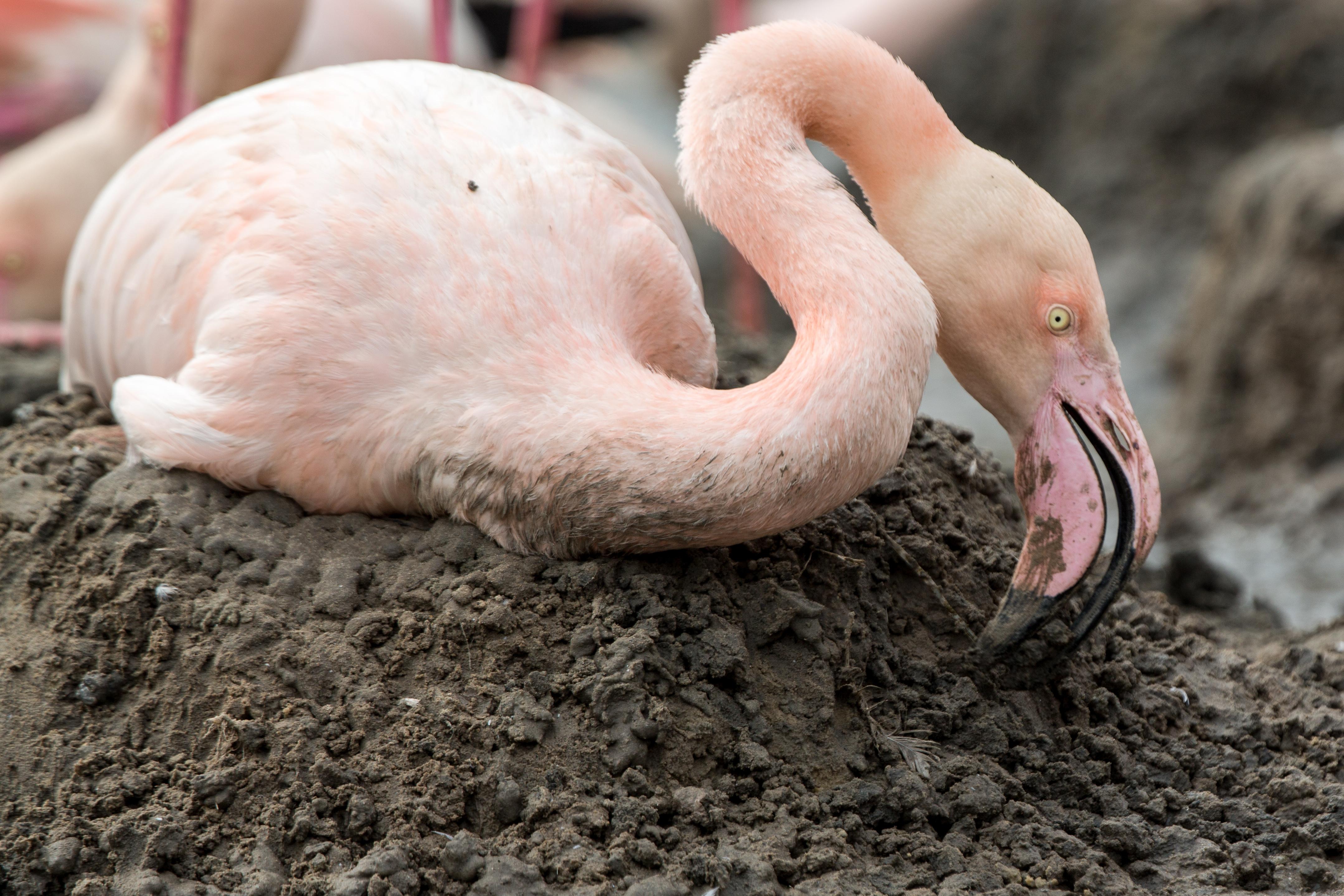 Flamingo nest - photo#19