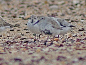 New hope for spoon-billed sandpipers as hand-reared bird heads for breeding grounds