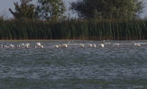Arrival of Bewick's in the Netherlands (J. A. Jorritsma)