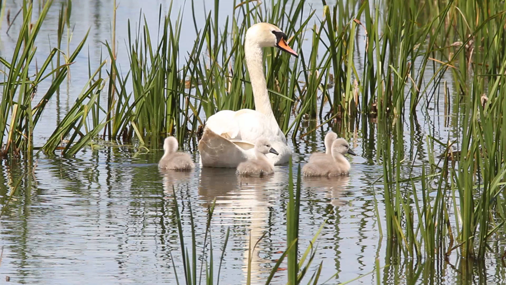 Swan with cygnets by Rob Wisdom