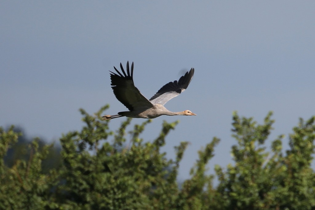 Wild young crane in Somerset (c) John Crispin