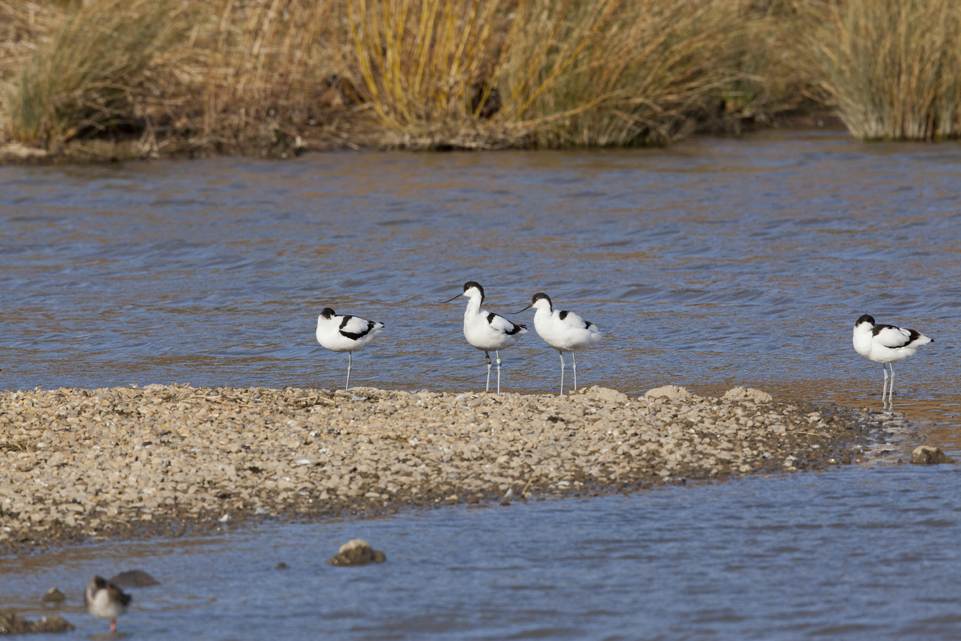 Avocets on new islands