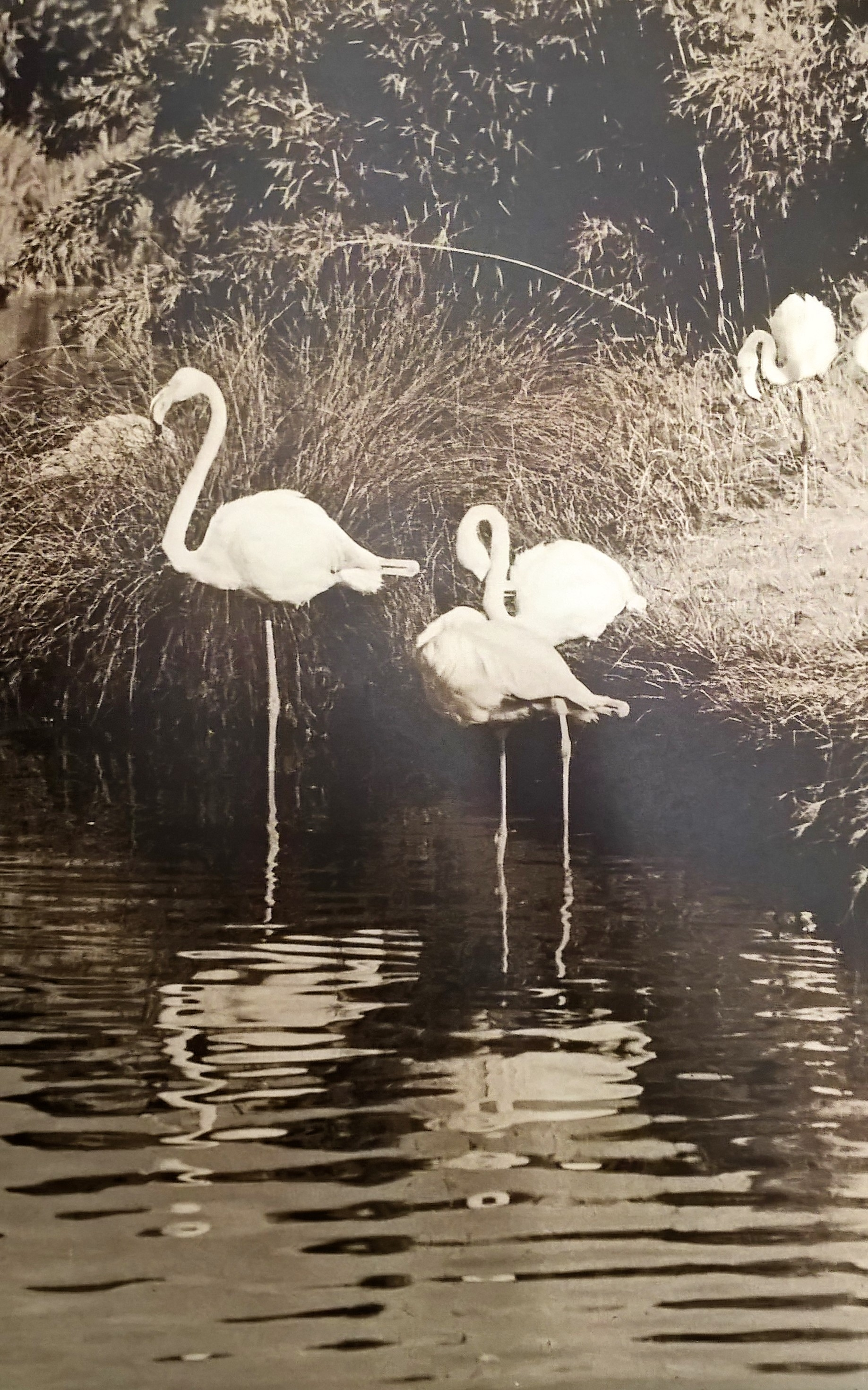 The first greater flamingos to arrive at Slimbridge. These would be the birds that were collected in 1956, and some of which are now celebrating their 60th birthdays. Copyright: WWT.