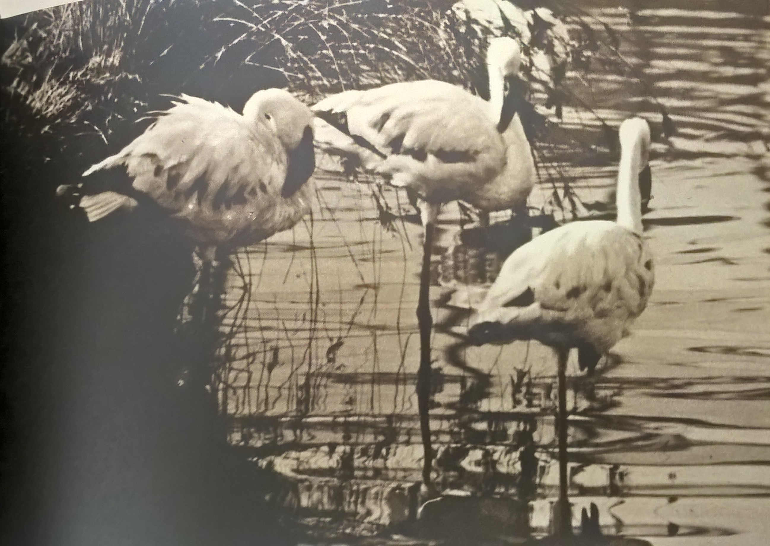 Some of the original lesser flamingos upon arrival in 1961. These birds may well still be part of the group you see today. Copyright: WWT.