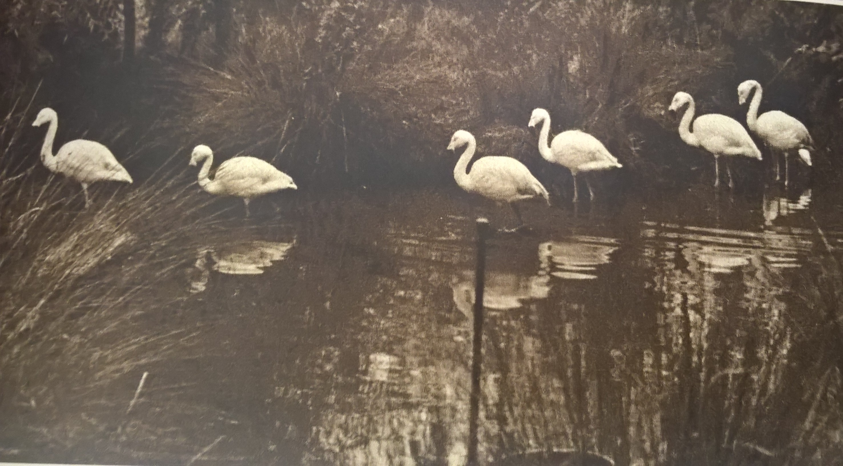 The first flock of Chilean flamingos at WWT Slimbridge in 1961. Copyright: WWT.