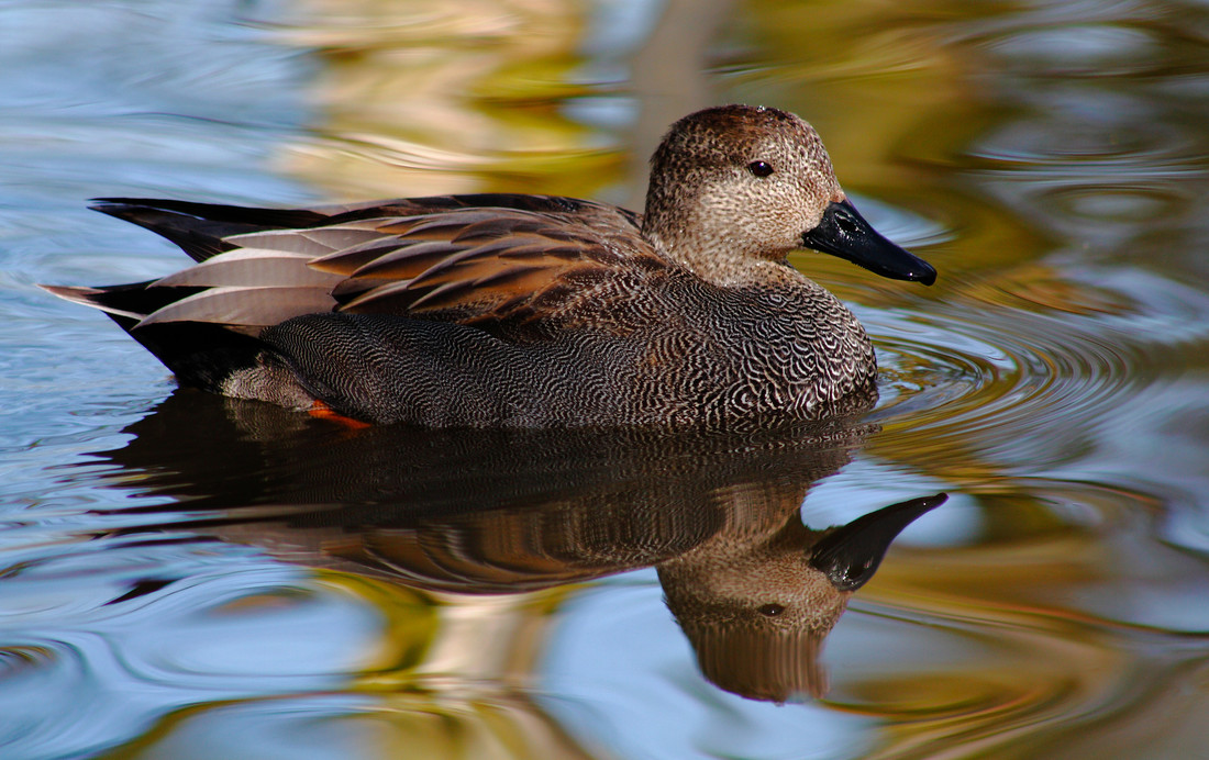 Numbers of gorgeous gadwall increasing