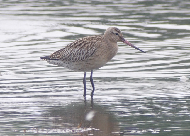 Juvenile Bar-tailed Godwit from Harrier Hide this afternoon (T. Disley)