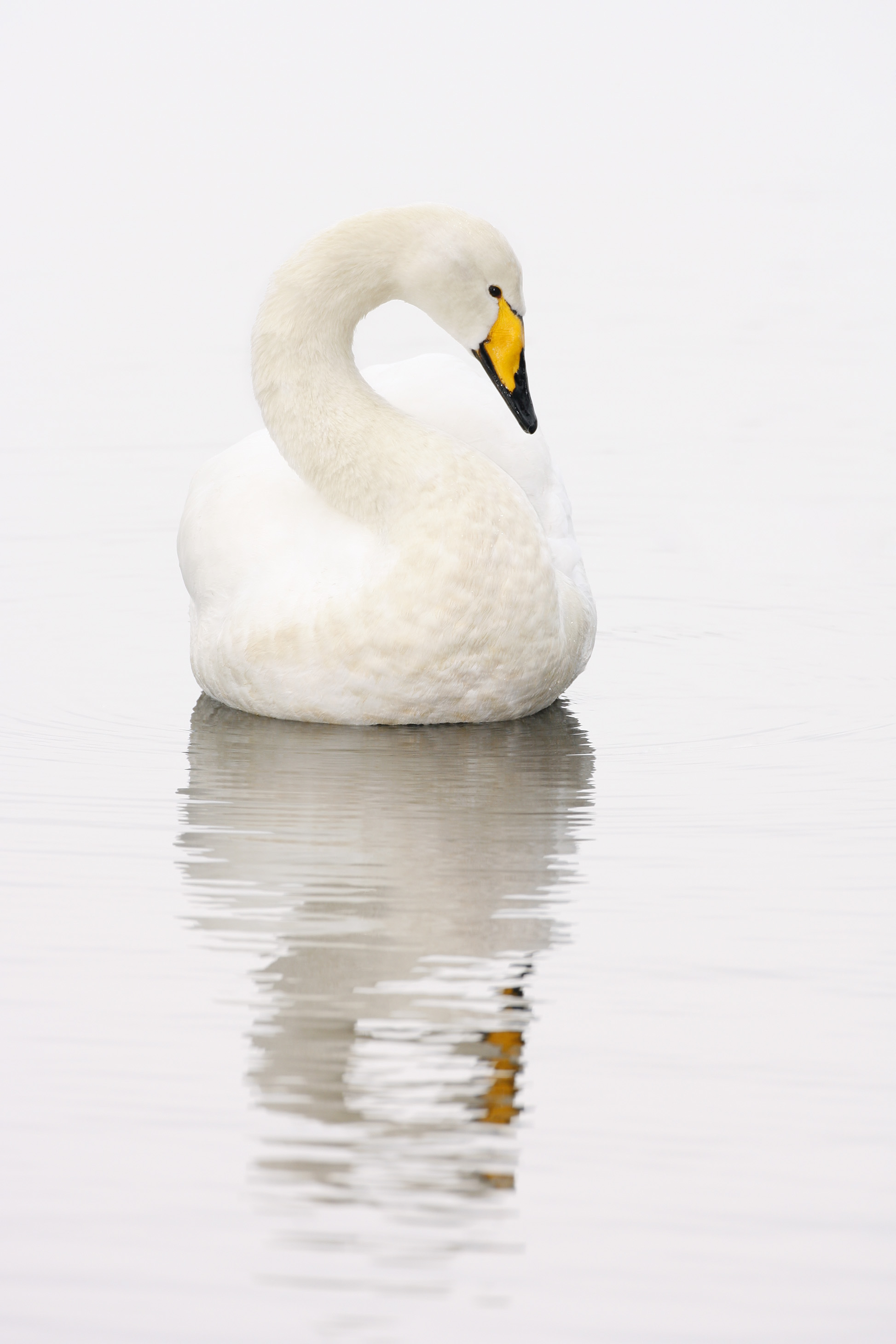 Whooper Swan, The Mere, Swanlink Hide, WWT Martin Mere, Burscough, Lancashire Category: WWT Nikon Photo of the Year