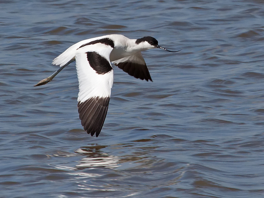 Spring is in the air at WWT Martin Mere Wetland Centre with the first 5 avocets returning to the centre on 19 February as part of the spring migration.        The avocets, now currently 11, will remain at the centre until early August, using the reserve as their breeding ground. In the past,...