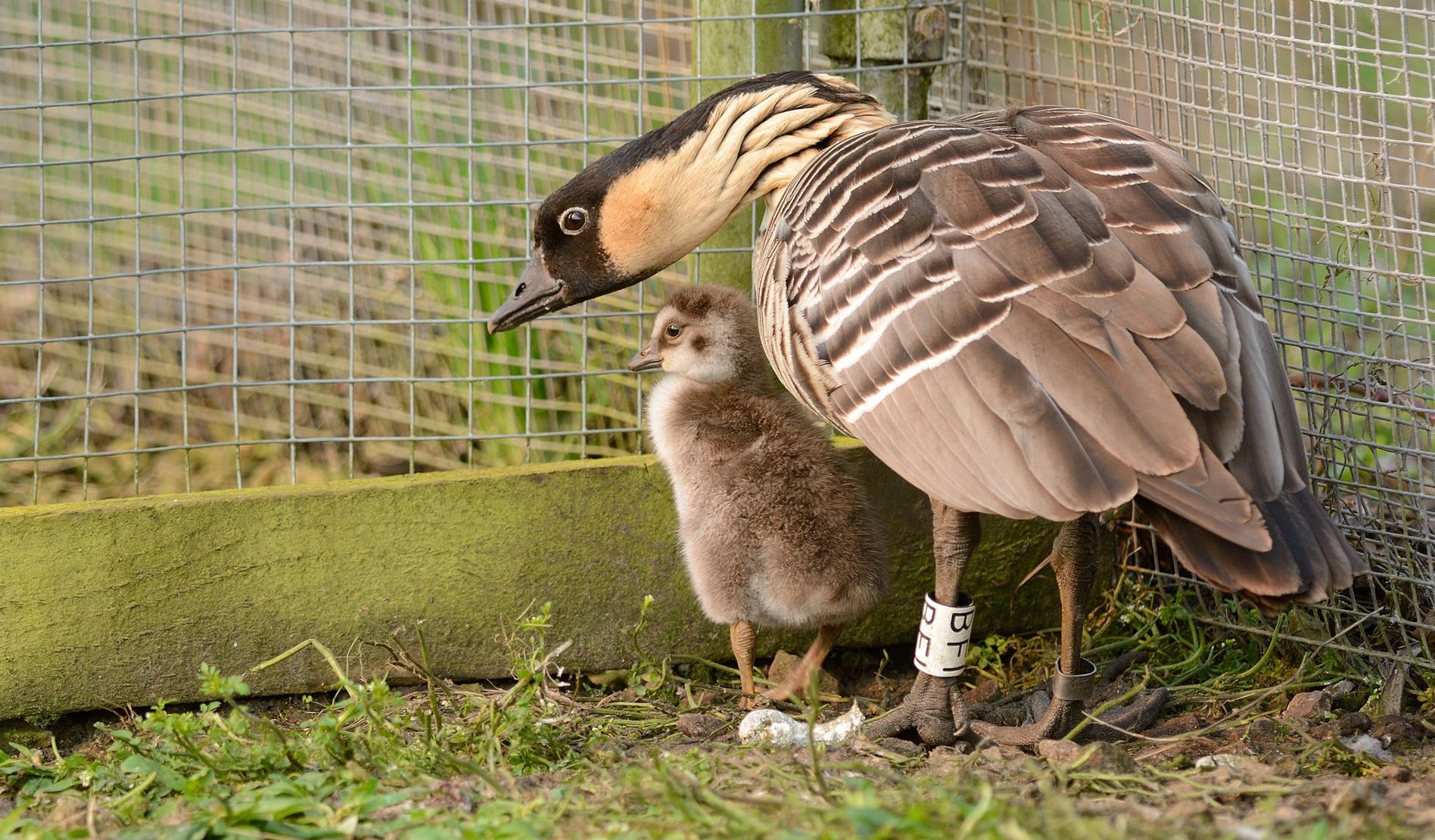 Wardens at WWT Martin Mere Wetland Centre are celebrating an early Easter present after one rare Nene gosling recently hatched in mid-March.        Only about 1,000 Nenes – pronounced 'nay-nay' after their call – survive in the wild in their native Hawaii. The gosling , born on 17 March, has spent...
