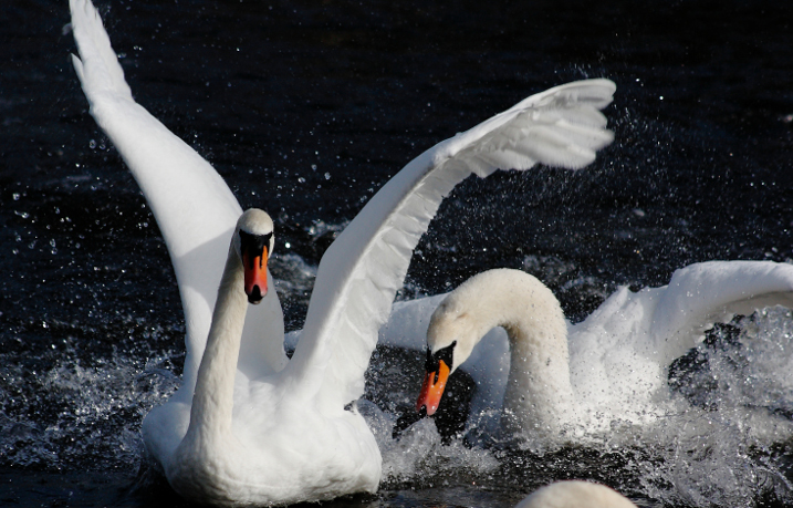 Are swans more aggressive than other birds?
